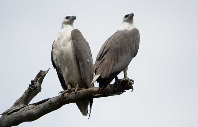 Two Eagles sitting on a branch