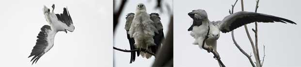 BirdLife Australia Sea-EagleCAM News June 2012 #1